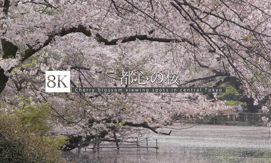 都心の桜_8K