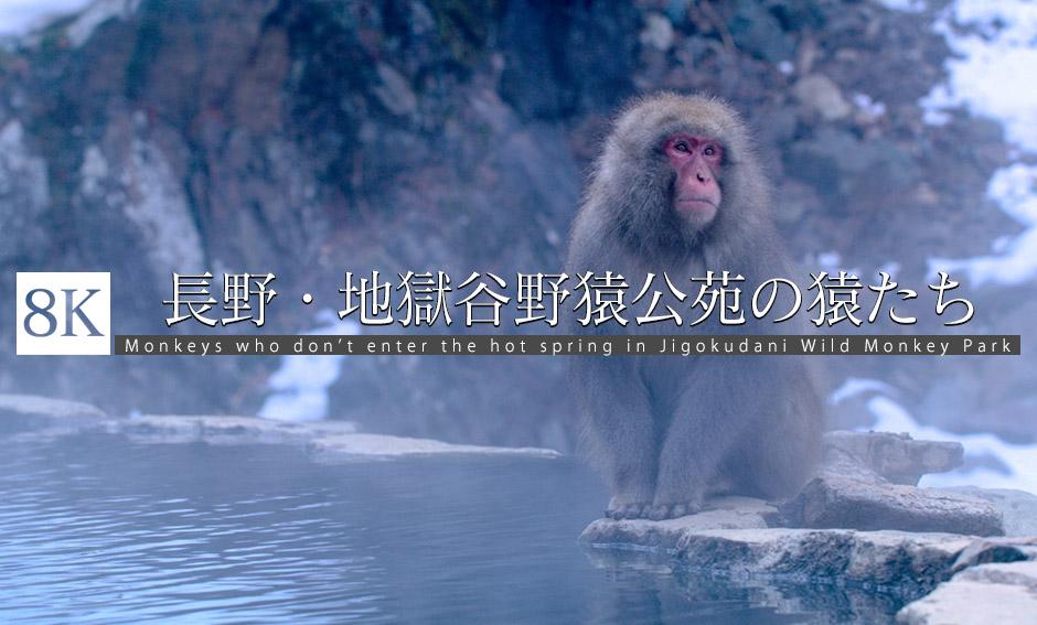 地獄谷野猿公苑の温泉に入らない猿たち_8K