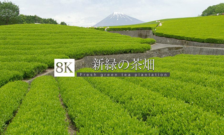 摘採適期、新緑の茶畑と富士_8K