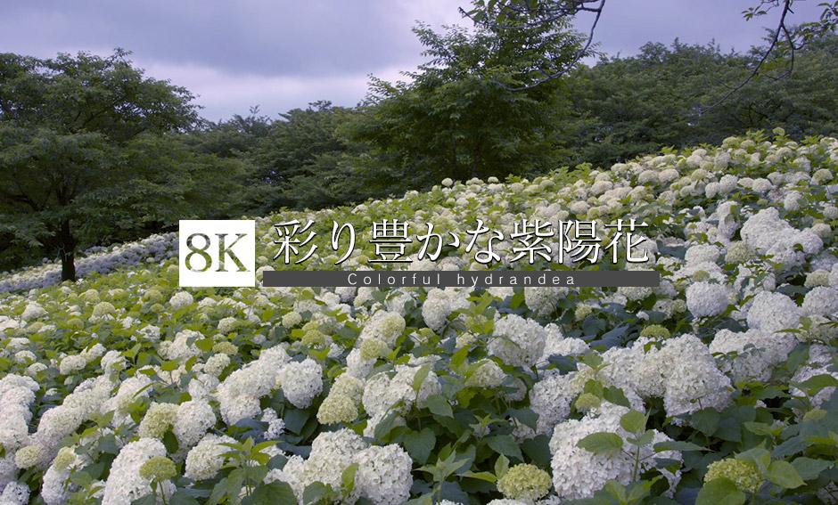 彩り豊かな紫陽花の共演_8K