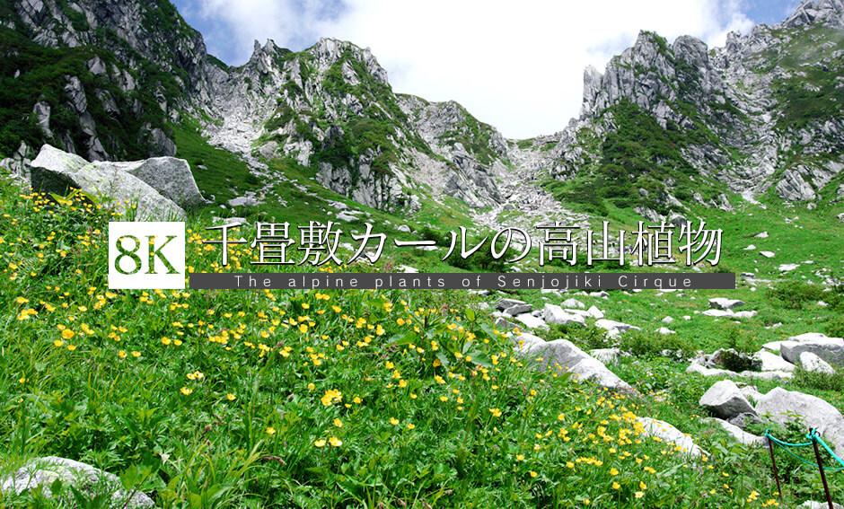 御嶽山と千畳敷カールの高山植物_8K