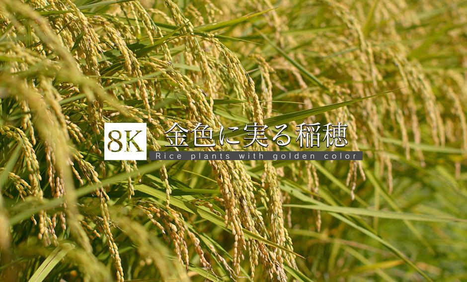 黄金色のきらめき、収穫待つ稲穂_8K
