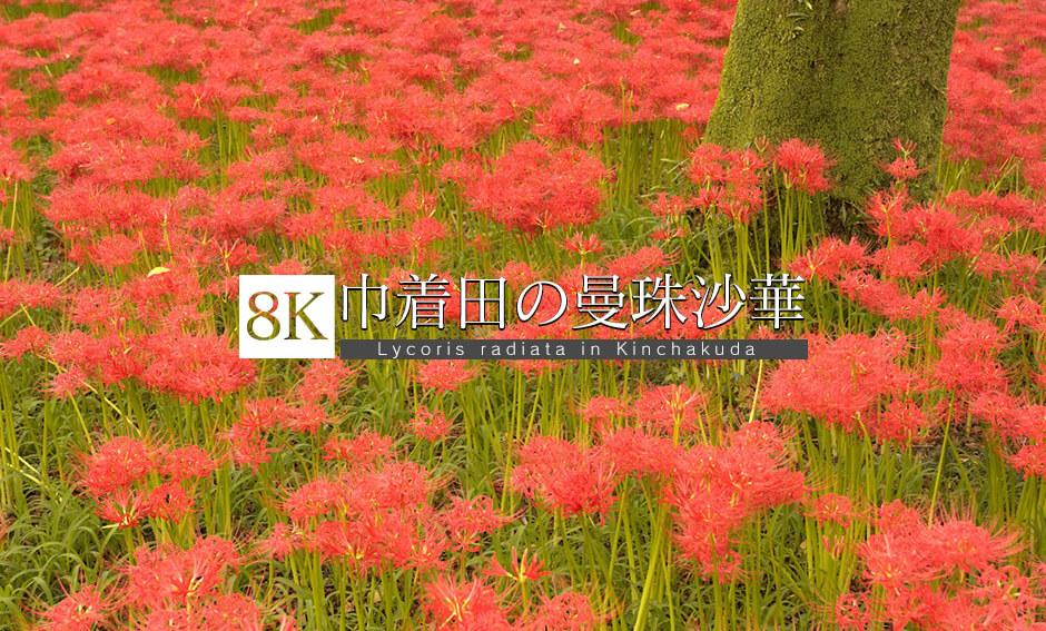 赤色満開!巾着田の曼珠沙華_8K