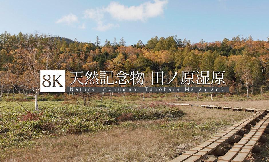 長野県天然記念物・田ノ原湿原_8K