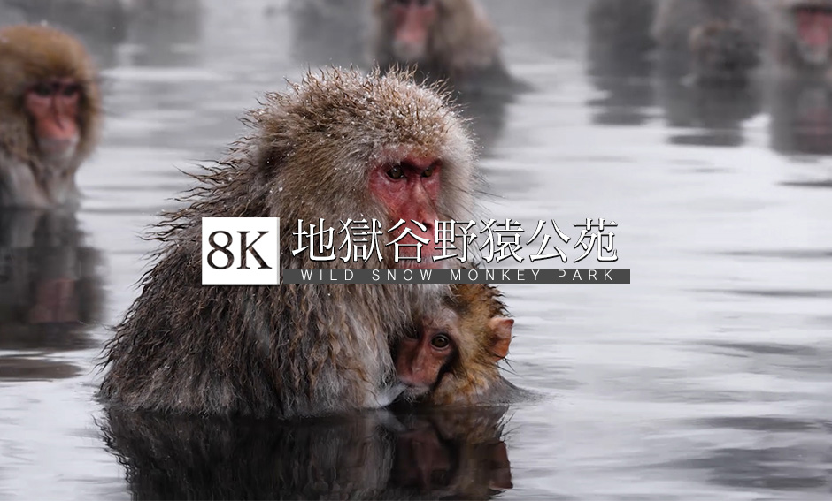 地獄谷野猿公苑、温泉に入る猿_8K