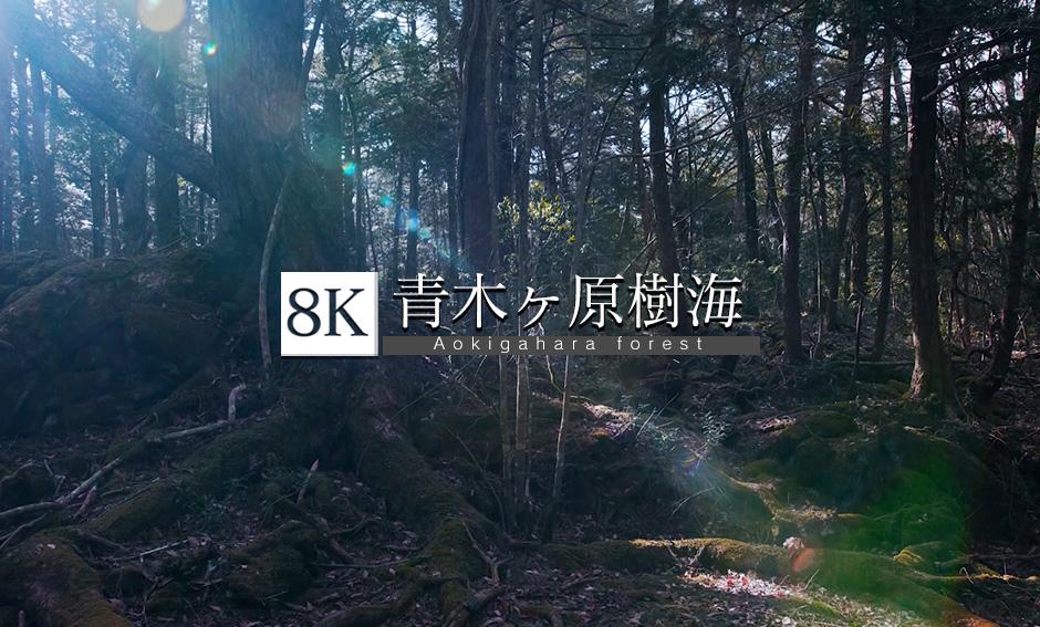 世界文化遺産、青木ヶ原樹海_8K
