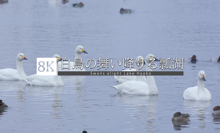 白鳥の舞い降りる場所、瓢湖_8K