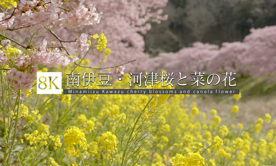 南伊豆、河津桜と菜の花の絶景_8K