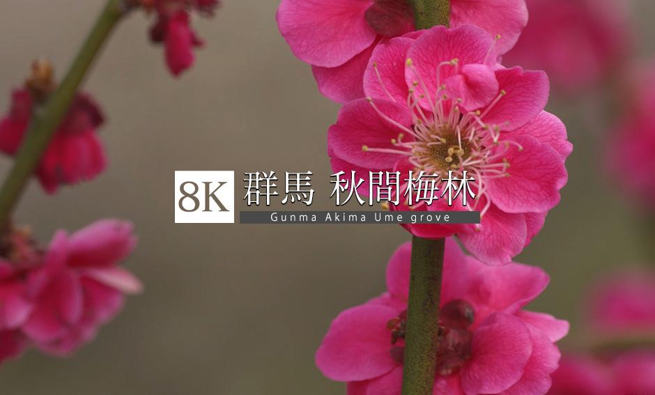 春を告げる花、秋間梅林_8K