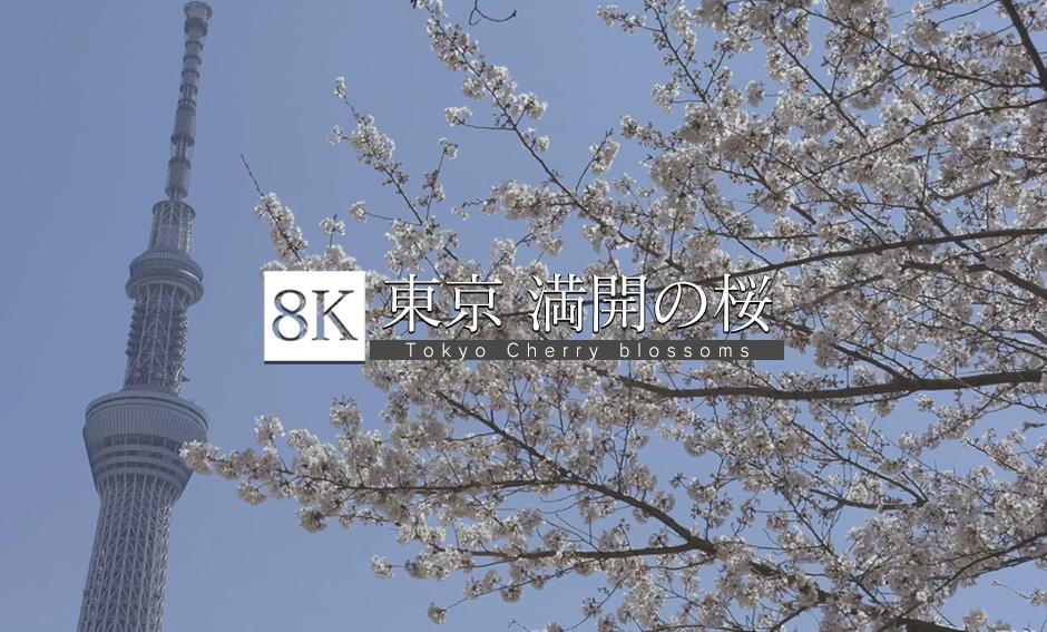 満開の桜、東京都内各所にて_8K