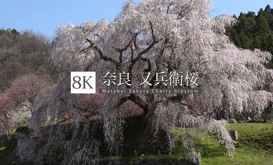 風を感じて、奈良の又兵衛桜_8K