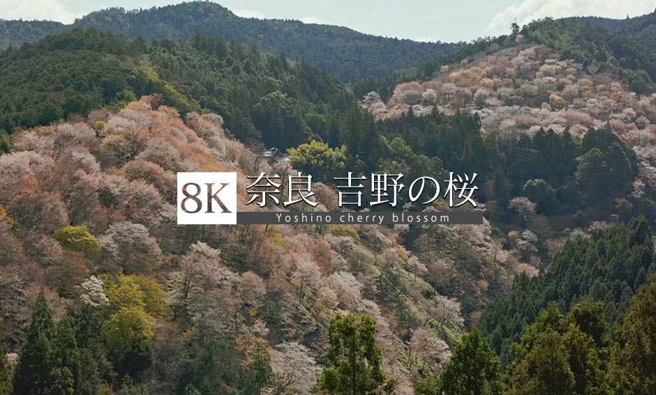 桃色絵巻、山を彩る吉野の桜_8K