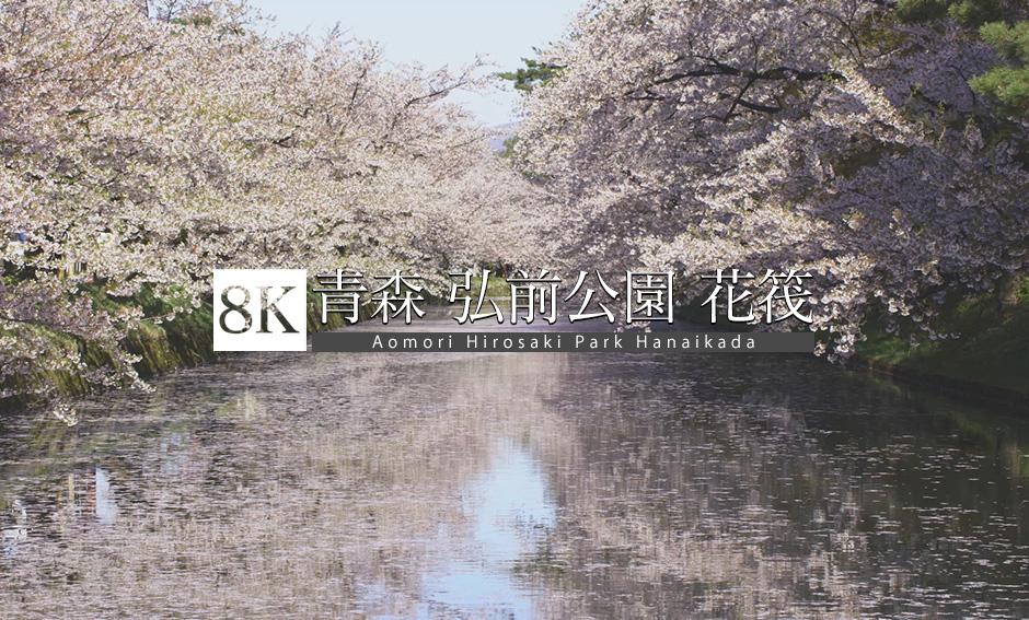 水面に踊る花びら、青森・弘前公園の花筏_8K
