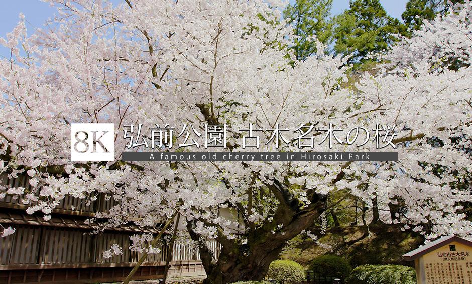 弘前公園_古木名木・ソメイヨシノ_8K