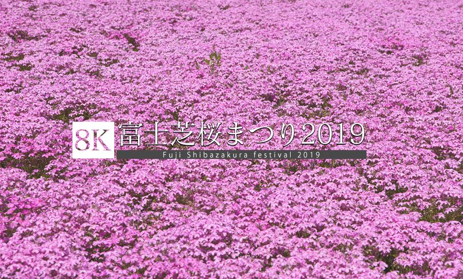 ピンクの祭典、富士芝桜まつり_8K
