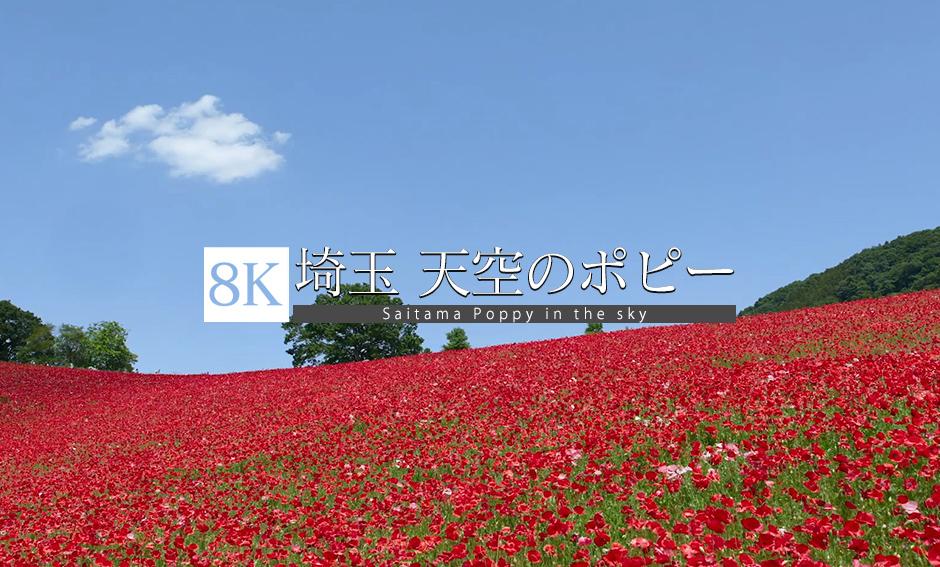 赤い絨毯、天空のポピー_8K