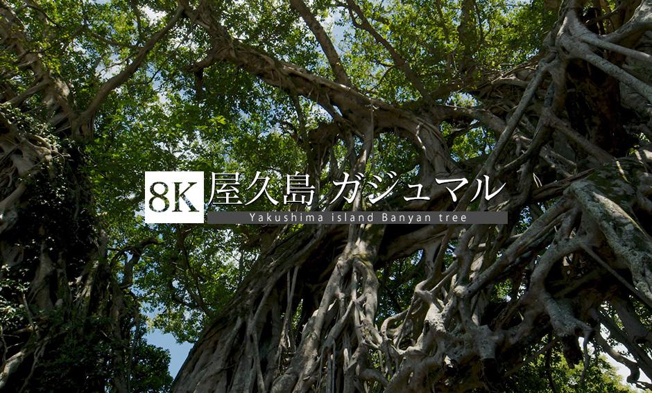 屋久島 Vol.3 ガジュマル