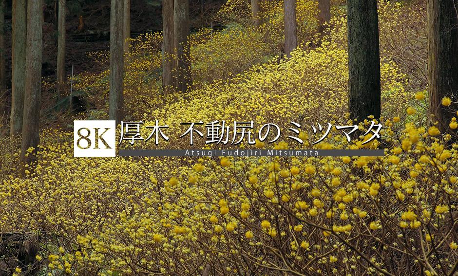 厚木・不動尻ミツマタ群生地_8K