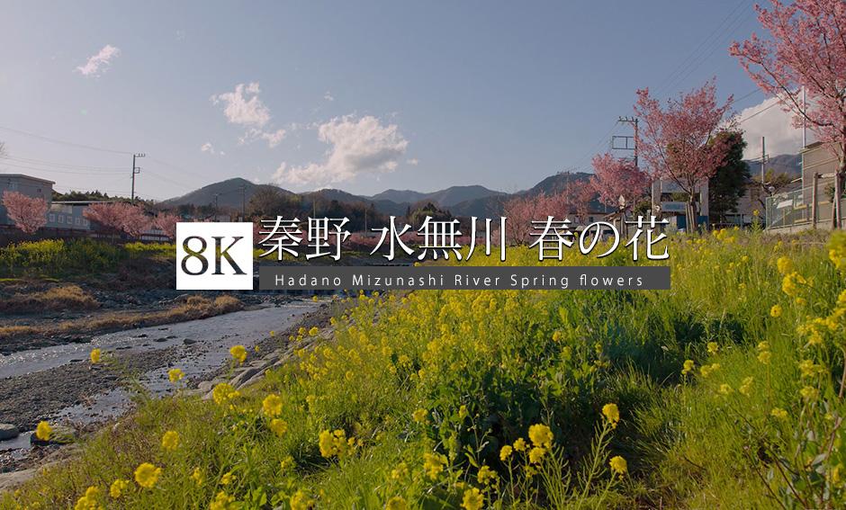 秦野・水無川 春の花_8K