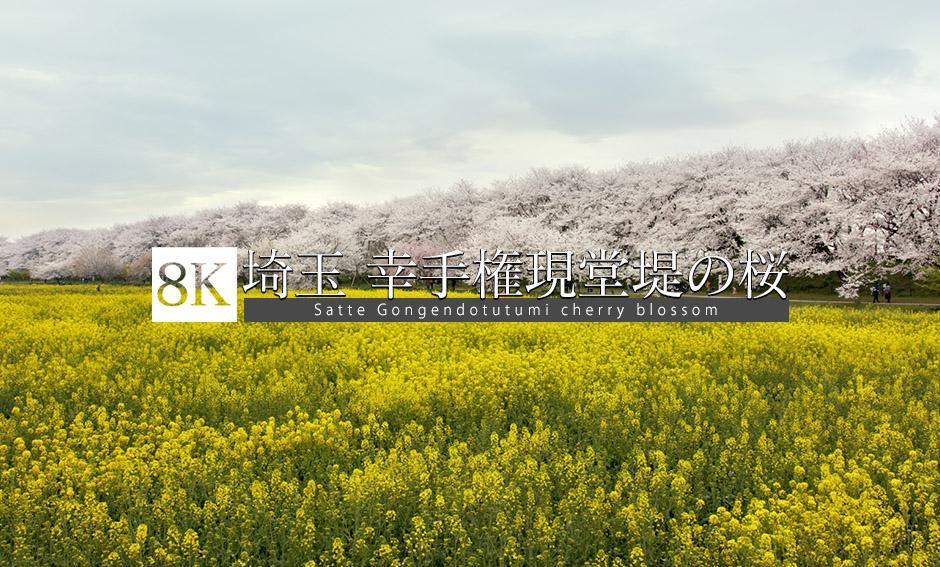 埼玉 権現堂堤の桜_8K