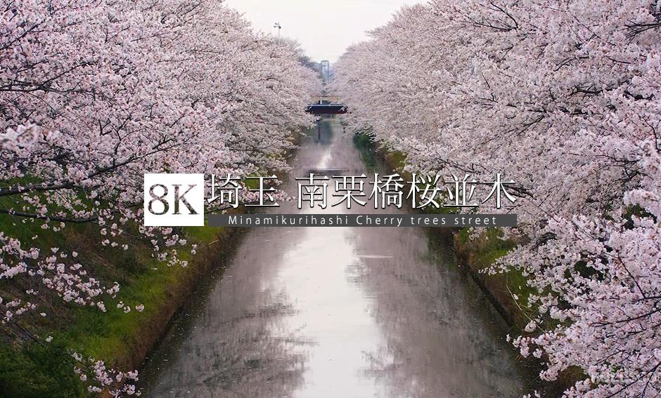 埼玉 南栗橋桜並木_8K