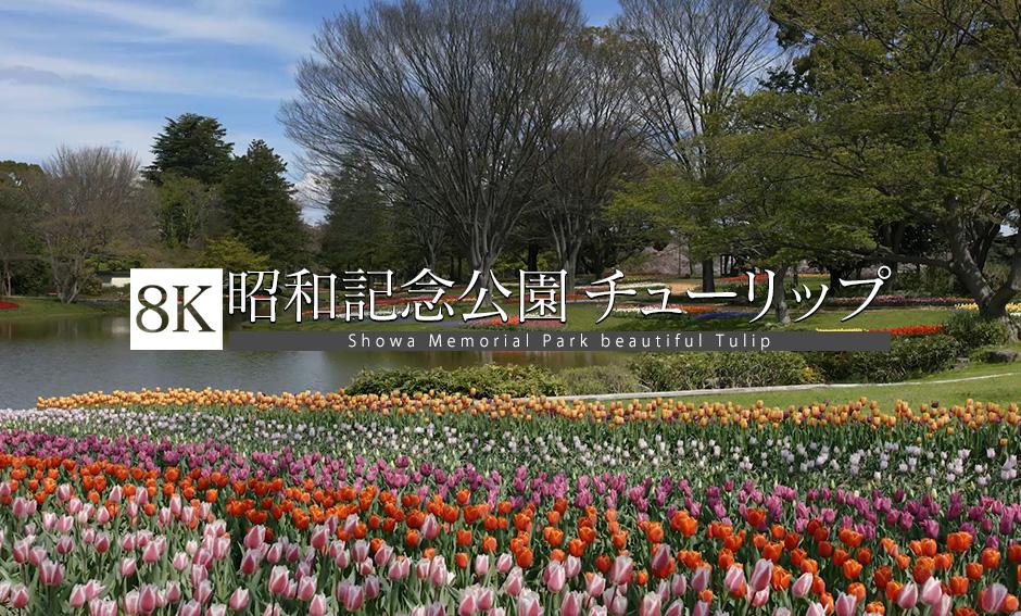 昭和記念公園 チューリップ_8K