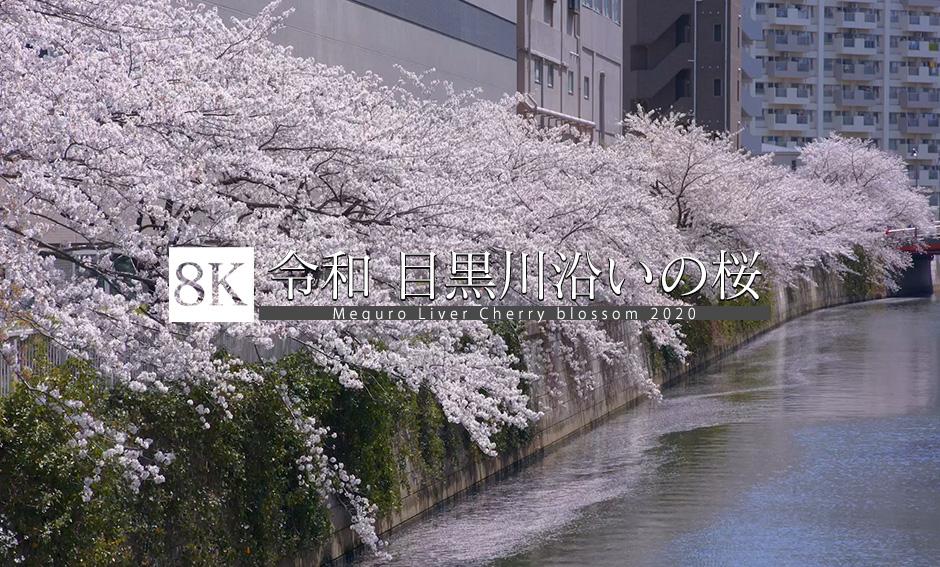 令和 目黒川沿いの桜_8K