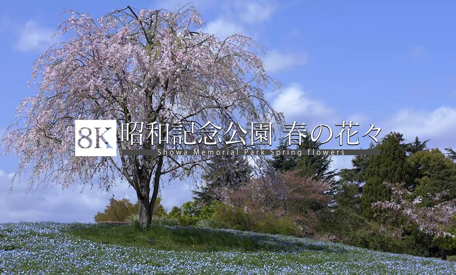 昭和記念公園 春の花々_8K