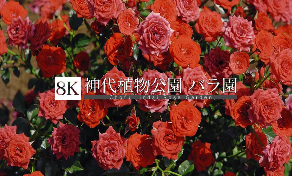バラの名所_神代植物公園_8K