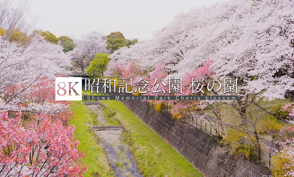 昭和記念公園 桜の園_8K