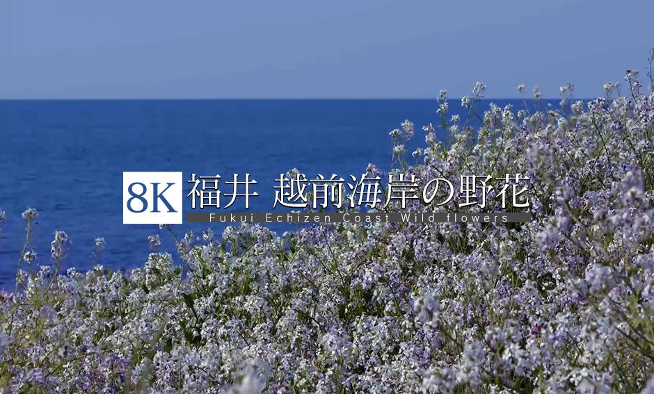 福井 野花咲く越前海岸_8K