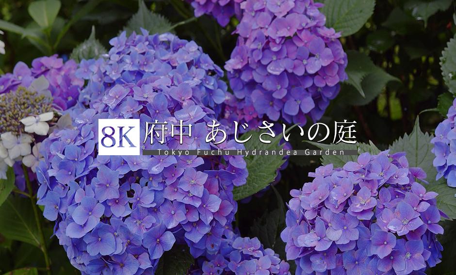 府中 あじさいの庭_8K