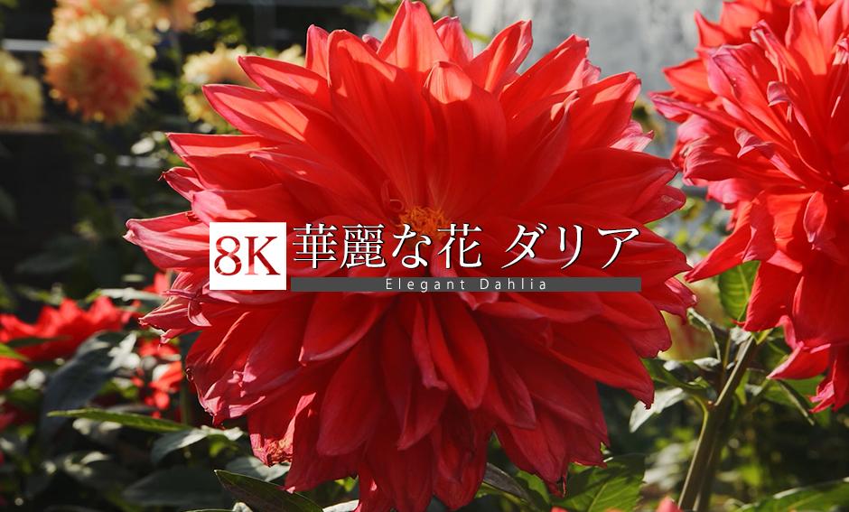 華麗な花 ダリア_8K