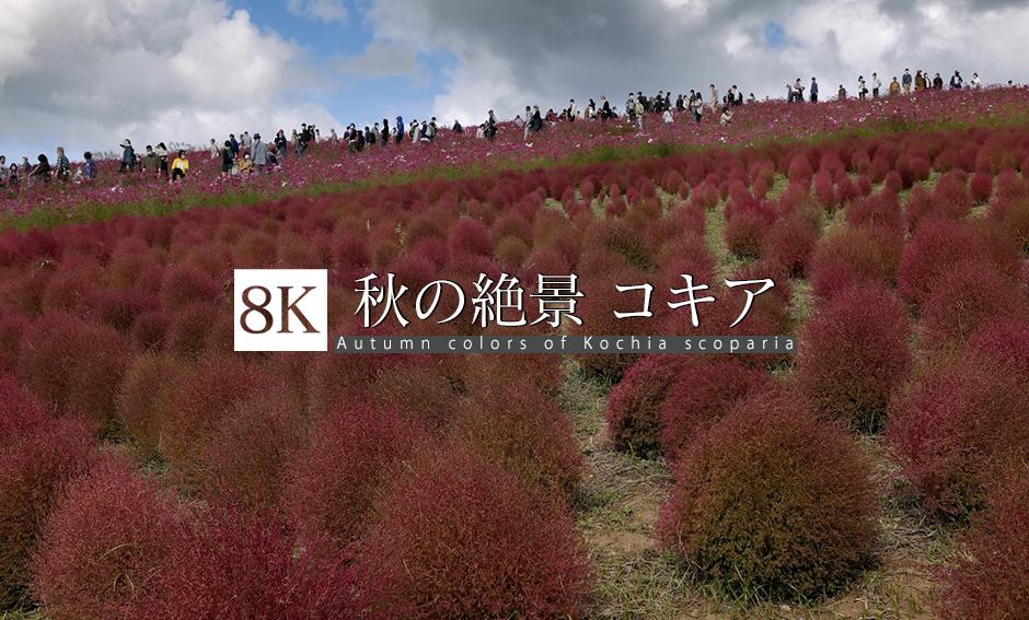 秋の絶景 コキア_8K