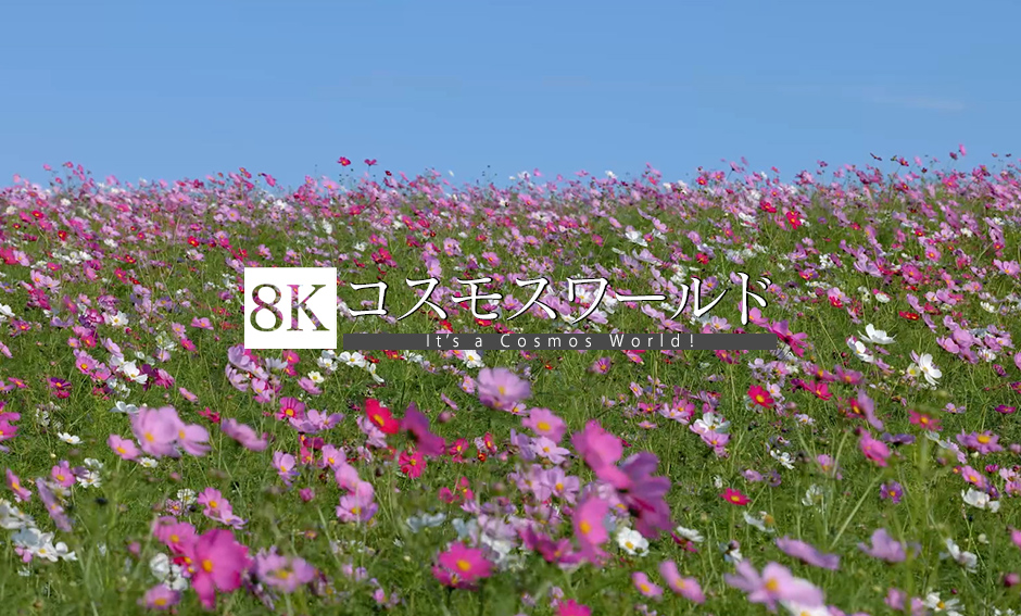 コスモスワールド_8K