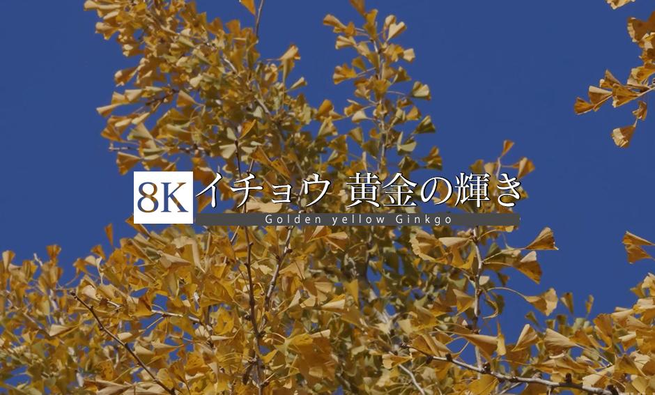 イチョウ 黄金の輝き_8K